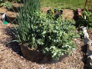Perennial sea kale getting ready to flower, along with a cover crop, garlic, perennial onions, and a lone marigold at the top of the third tier.